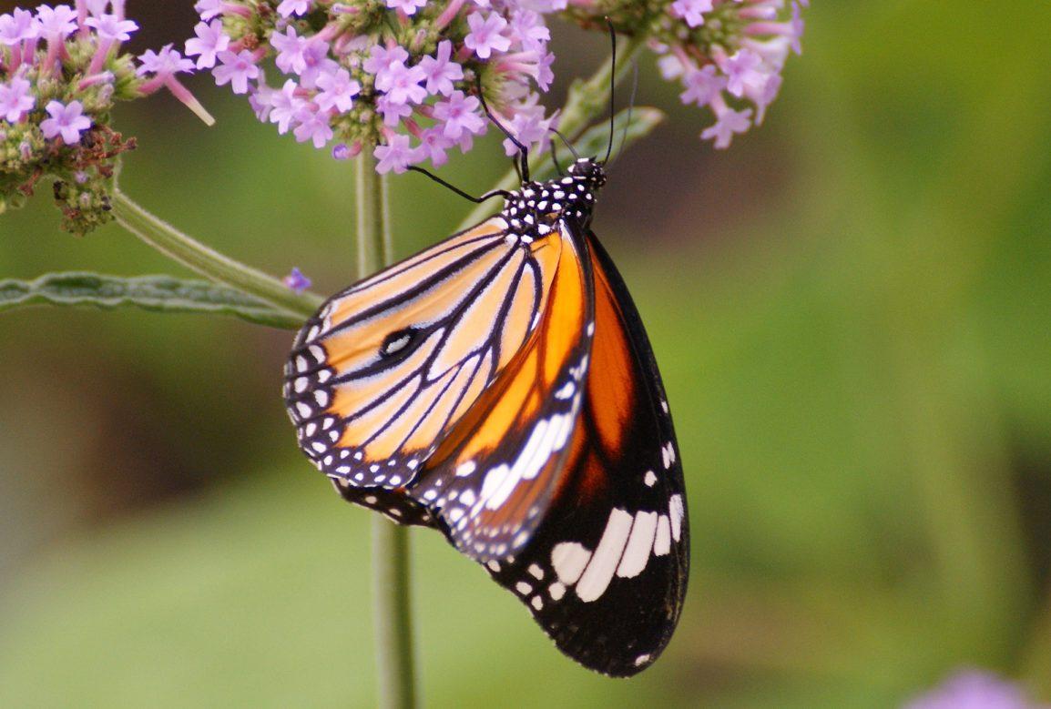 butterfly-1559863_1920